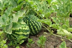 Two striped watermelon in garden. Two striped watermelon grow in garden Stock Photos