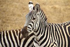 Two striped Zebras in Savannah royalty free stock photo