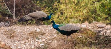 Two Peacock Royalty Free Stock Photos