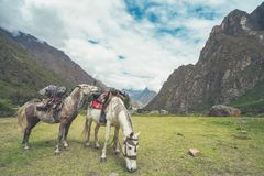 The two strong horsebacks are full of cargo. They are on their way to the village where the Inca Trail passes royalty free stock photo