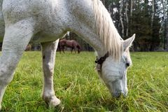 Two strong horses grazing in meadow Stock Image
