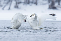 Two strutting trumpeter swans Stock Image