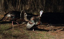 Two Strutting Turkeys. Two strutting wild turkeys in the morning sunlight Stock Photos