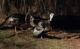 Two Strutting Turkeys Stock Photos