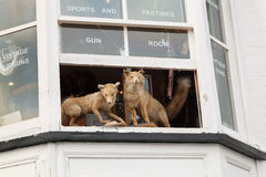 Two stuffed foxes peering from an upstairs window of a gun shop Stock Images