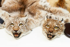 Two stuffed lynxes hunting trophy. Closeup Royalty Free Stock Image