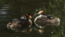Two stunning adult Great crested Grebe Podiceps cristatus both with their cute babies riding on their backs swimming on a river. Their reflections showing in Stock Photography