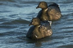 Two Brent Goose Branta bernicla swimming in the sea. royalty free stock photo