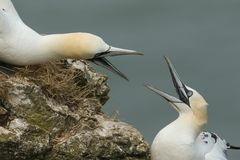 Two magnificent Gannet Morus bassanus with their beaks open fighting on the edge of a cliff in the UK. Two stunning Gannet Morus bassanus with their beaks open stock photo