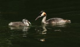 Two stunning Great Crested Grebe Podiceps cristatus swimming in a river. The parent bird has just fed the baby with a fish. Two sweet Great Crested Grebe stock images