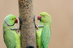 Two stunning Ring-necked Parakeet Psittacula krameri feeding from a seed bird feeder. Two pretty Ring-necked Parakeet Psittacula krameri feeding from a seed Royalty Free Stock Photos