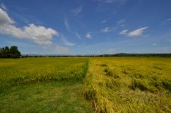Two styles of beautiful colors of rice field under blue sky. Two styles of beautiful colors of old rice field under fresh blue sky in the countryside of Thailand royalty free stock photos