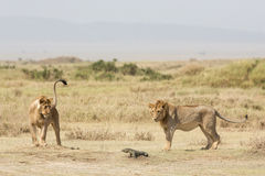Two sub adult male African Lions playing with a Monitor Lizard, Serengeti National Park, Tanzania Royalty Free Stock Photo