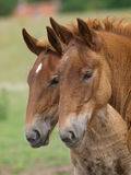 Two Suffolk Punch Horse Foals Royalty Free Stock Photos