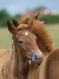 Two Suffolk Punch Horse Foals Stock Image