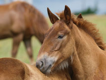 Two Suffolk Punch Horse Foals Stock Photography