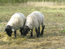 Two suffolk sheep munching Stock Photos