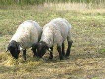 Two suffolk sheep munching. Two suffolk sheep on grass munching stock photos
