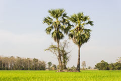 Two Sugar  trees in the field Stock Image