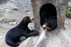 Two sun bears. Playing together stock photography