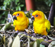 Two sun conure parrot Royalty Free Stock Photography