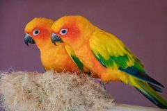 Two Sun Conure Parrot Macaw On A Nest In Contact Zoo Royalty Free Stock Photo