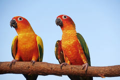 Two sun Conure Parrot Screaming on a Branch Royalty Free Stock Photos