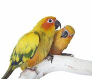 Two Sun Conure Parrots Royalty Free Stock Images
