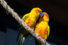 Two Sun Conure, yellow parrots, kissing in a tree royalty free stock image