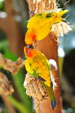 Two sun conures kissing Stock Image