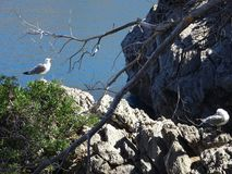 Sunbathing seagulls at the port on the way to the canyon Torrent de Parais, Mallorca, Ballears Royalty Free Stock Photos