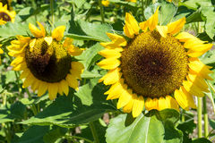 Two Sunflower close up with bee. On plant green leaf stock image