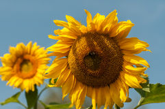 Two sunflower closeup. A bee pollinating a sunflower Stock Photos