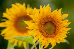 Two sunflower closeup. Two flowers of a sunflower with a blurred background Royalty Free Stock Images