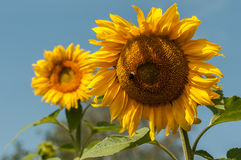 Two sunflower closeup. Two flowers of a sunflower with a blurred background Stock Photos