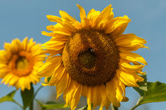 Two sunflower closeup. Two flowers of a sunflower with a blurred background Royalty Free Stock Photos