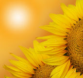 Two Sunflower On The Sunny Background