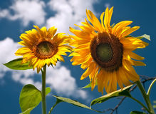 Two sunflower. Sunflowers against the sky, summer day Royalty Free Stock Photo