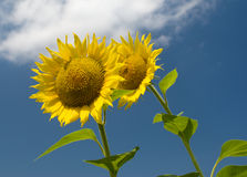 Two sunflowers. Against the sky with clouds Royalty Free Stock Photo
