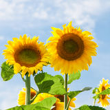 Two sunflowers against blue sky Royalty Free Stock Image