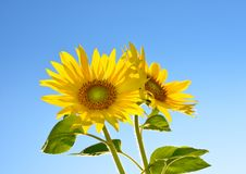 Two sunflowers Stock Image