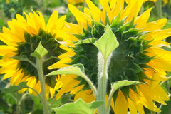 Two sunflowers backlit. Close-up Stock Photos