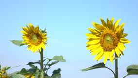Two Sunflowers Beautiful. Beautiful yellow sunflowers are seasonal natural attractions stock video footage