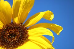 Sunflower on a blue sky