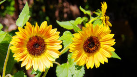 Two sunflowers in botanical garden, Spain Stock Images