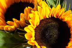 Two sunflowers, close up Stock Photo