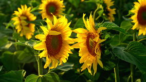 Two sunflowers facing each other in agricultural field. Royalty Free Stock Photography