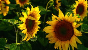 Two sunflowers facing each other in agricultural field. Stock Photo