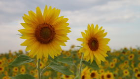 Two sunflowers in a field. Beautiful sunny flowers. Cloudy sky. yellow flower. Sunflower farming.  stock footage