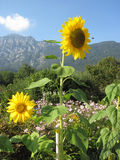 Two sunflowers on the garden Stock Photography